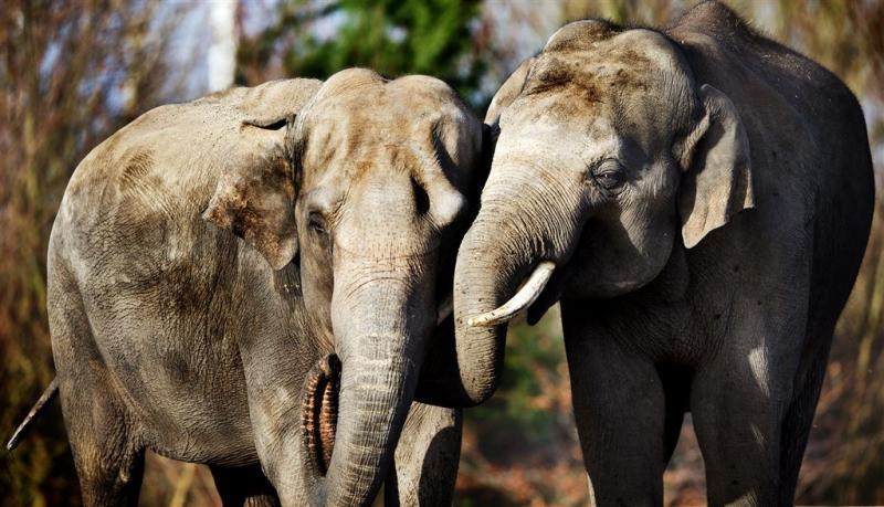 Condooms met chili houden olifant op afstand