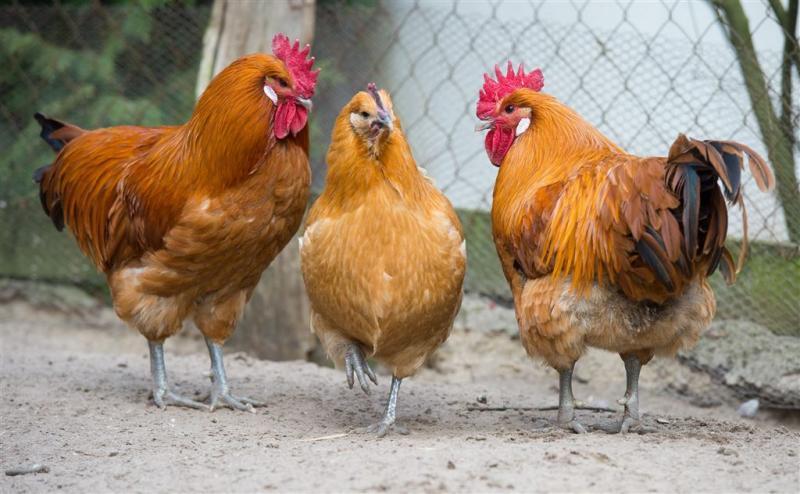 Ontslagen om 'gruwelijke' kippenmishandeling