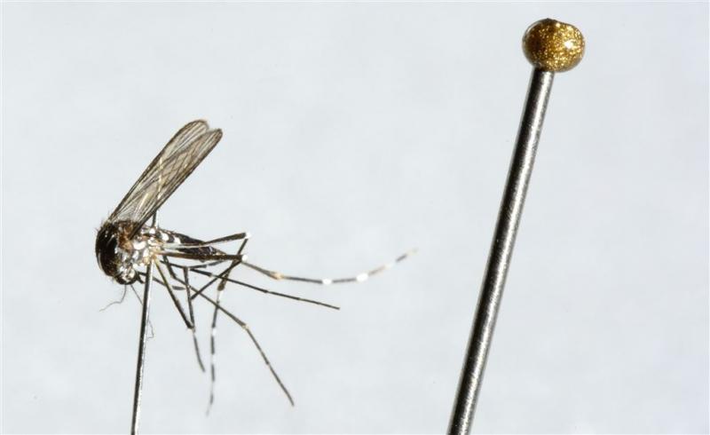 Tijgermuggen ontdekt in woonwijk Veenendaal