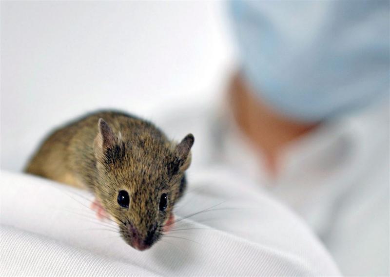 Zikavirus gevonden in traanvocht muizen