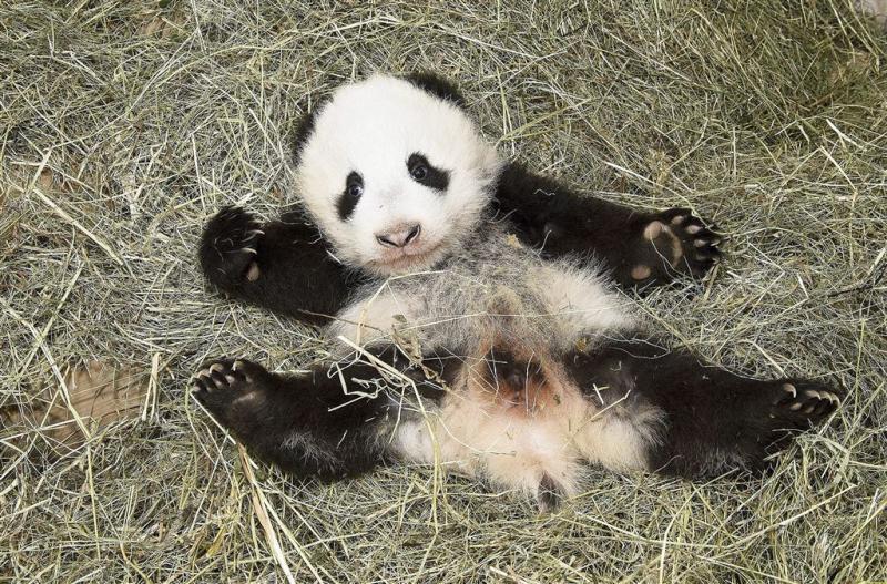 Belgische babypanda heet 'schat van de hemel'