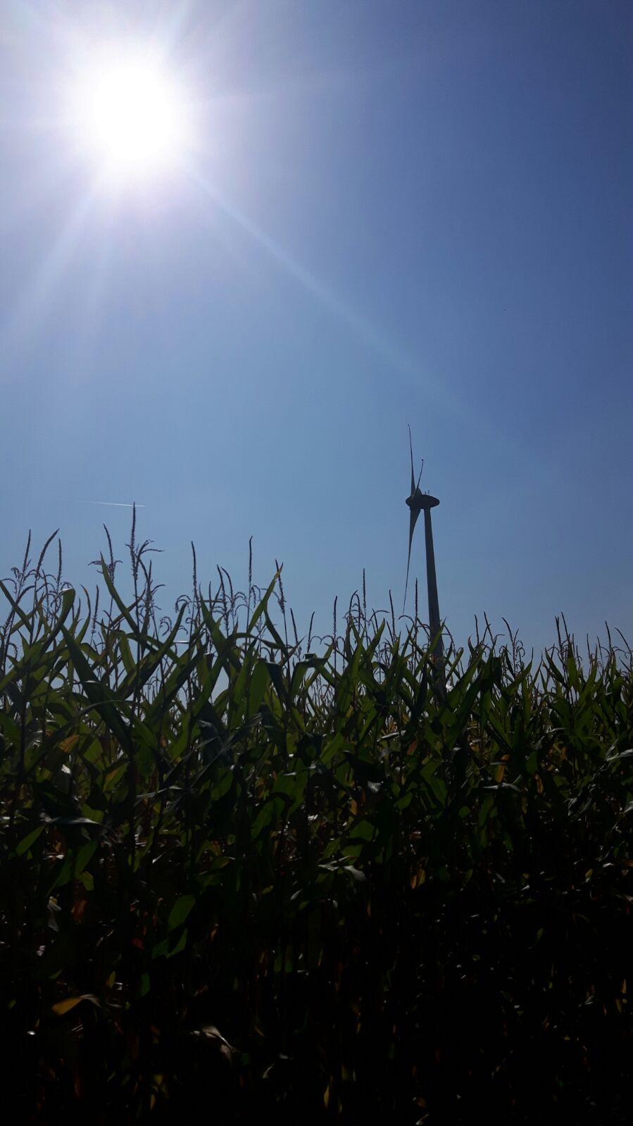 Maisveld in de zon, 2 jaar geleden