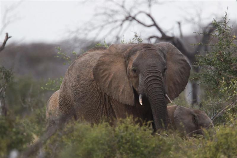 Olifant doodt Italiaanse toerist in Kenia