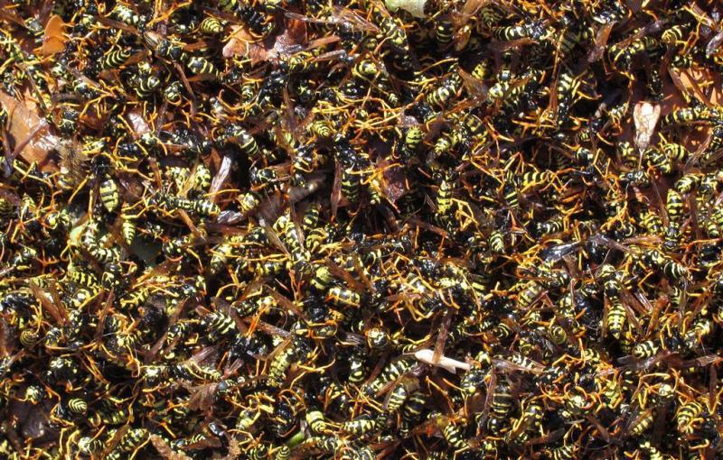 Zwerm wespen stort zich op Duitse kinderen