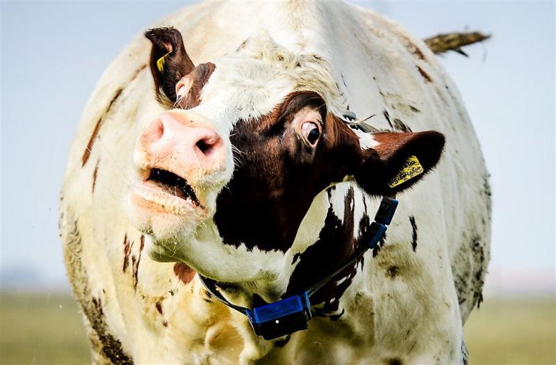 Koeien minder vaak de wei in
