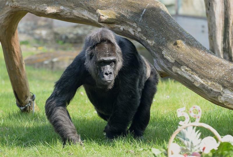 Gorilla ontsnapt in Londense dierentuin
