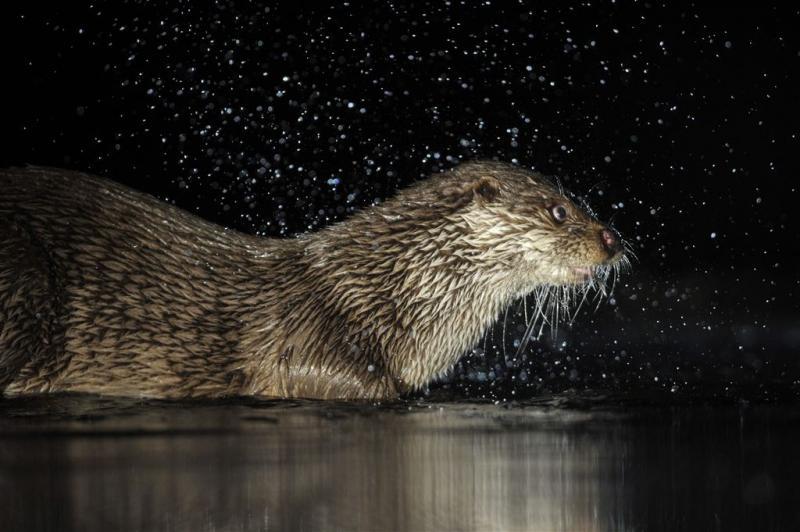 Otter duikt weer op in Naardermeer