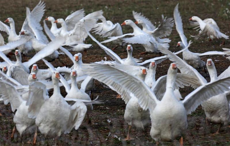 Vogelgriep in zeven Europese landen