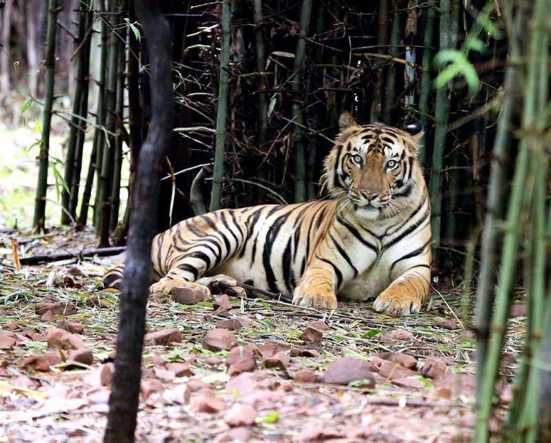 'Wegen zetten streep door tijgercomeback'