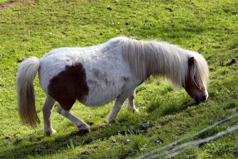 Hond valt pony's aan