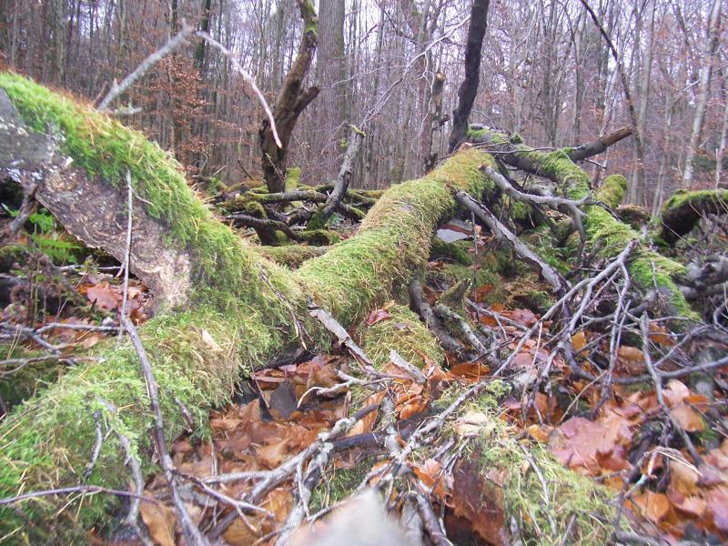 Bomen in het Reichswald (Foto: qltel)