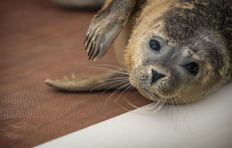 Belgische zeehondenrustplaats gezonken
