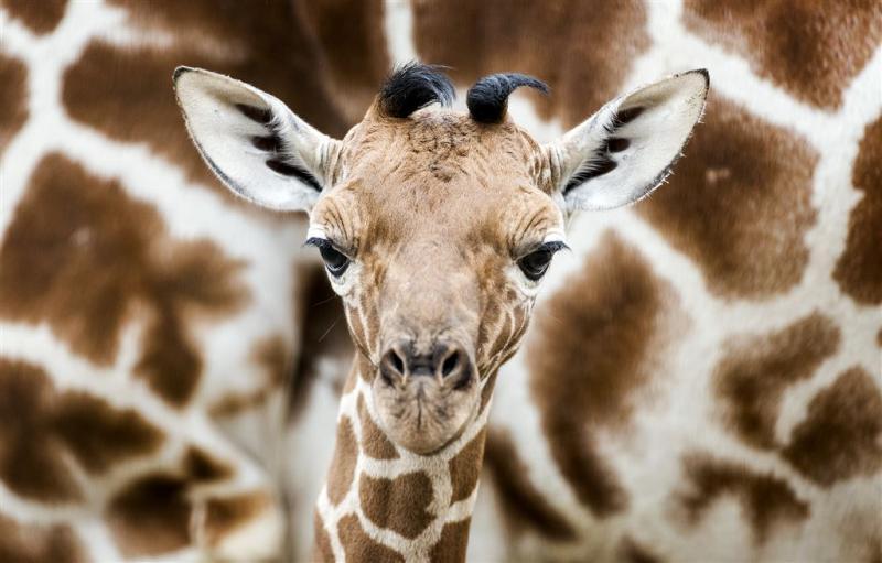 Giraffe zit in de verdrukking door mensen