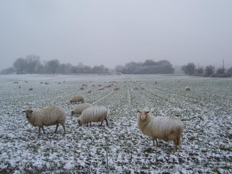Schapen in de sneeuw (Foto: qltel)