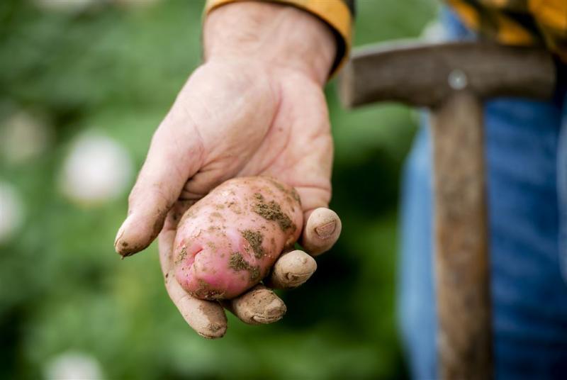 Aardappelziekte bruinrot bij vier telers