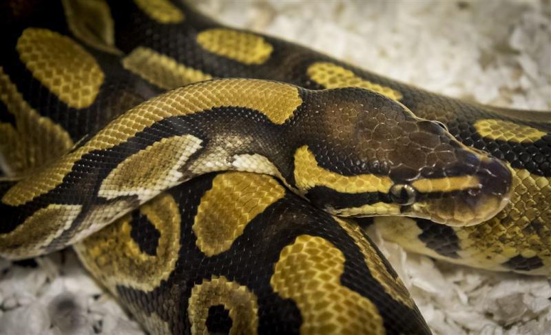 Bewoner vindt python in toilet