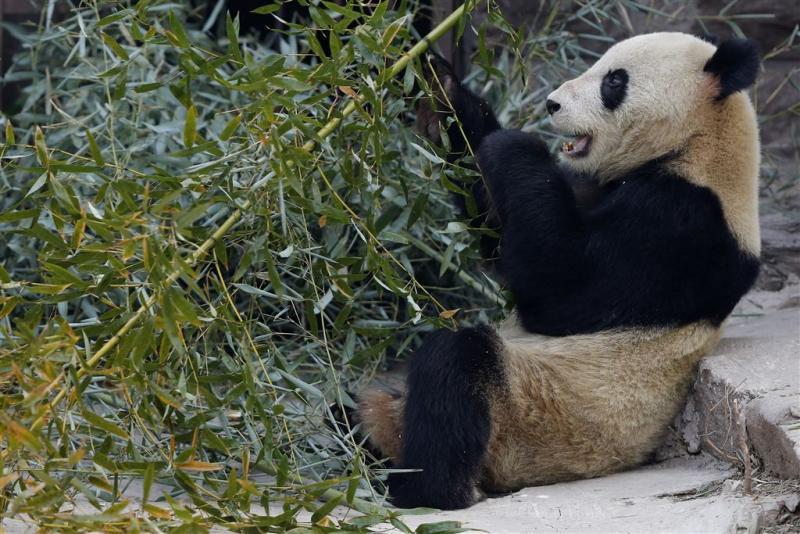 Opa-panda Pan Pan overleden
