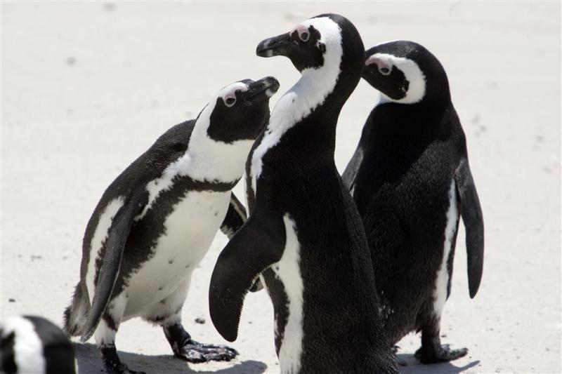 Kat bedreigt Zuid-Afrikaanse pinguïns