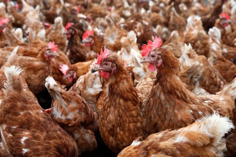 Veel kippen dood door vrachtwagenbrand A59