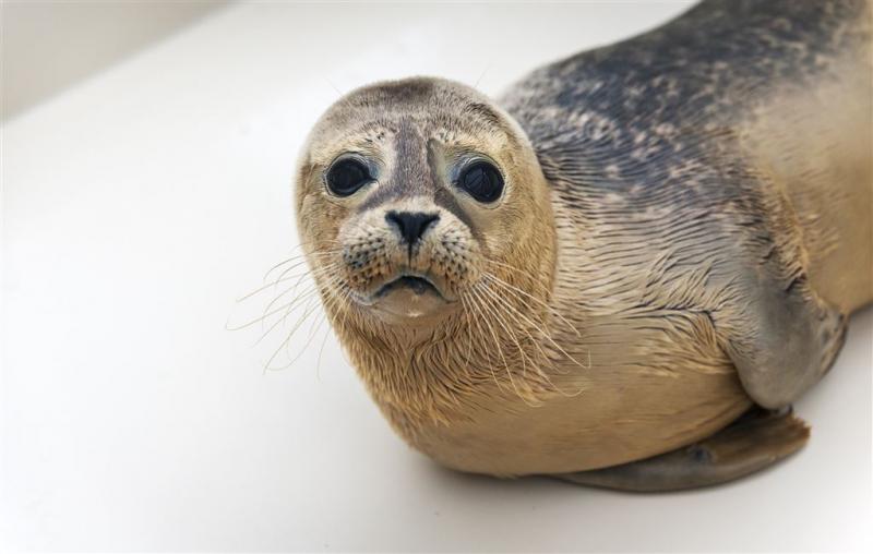WNF redt bedreigde zoetwaterzeehond Finland