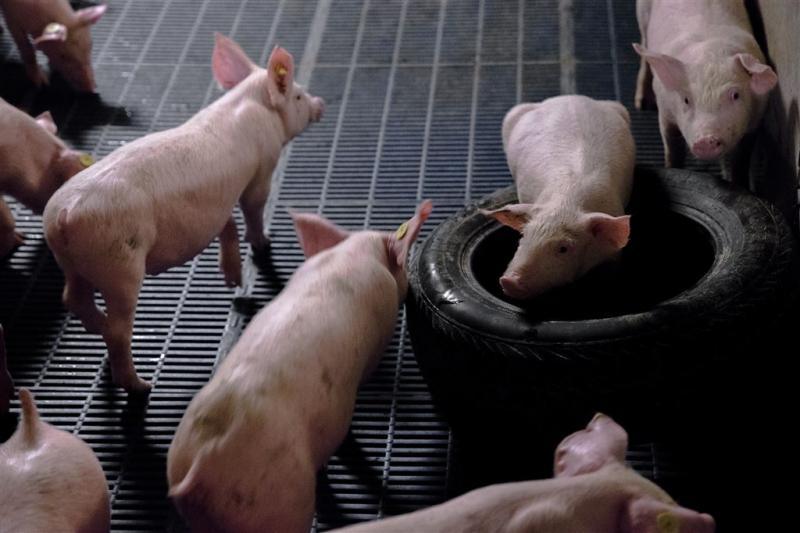 Varkensziekte PED bereikt Brabant en Limburg