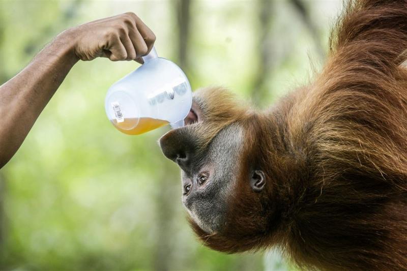 Bedreigde orang-oetan gestorven in dierentuin