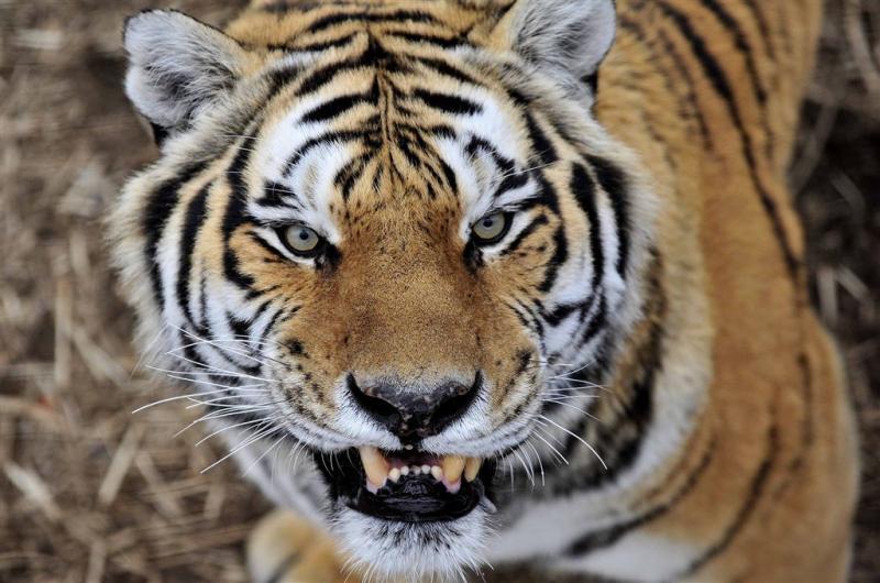 Tijger grijpt bezoeker Chinese dierentuin