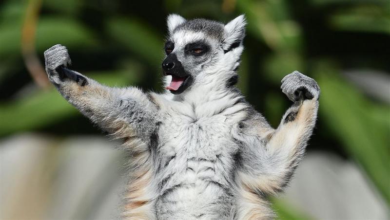 Gezichtsherkenning moet lemuren redden