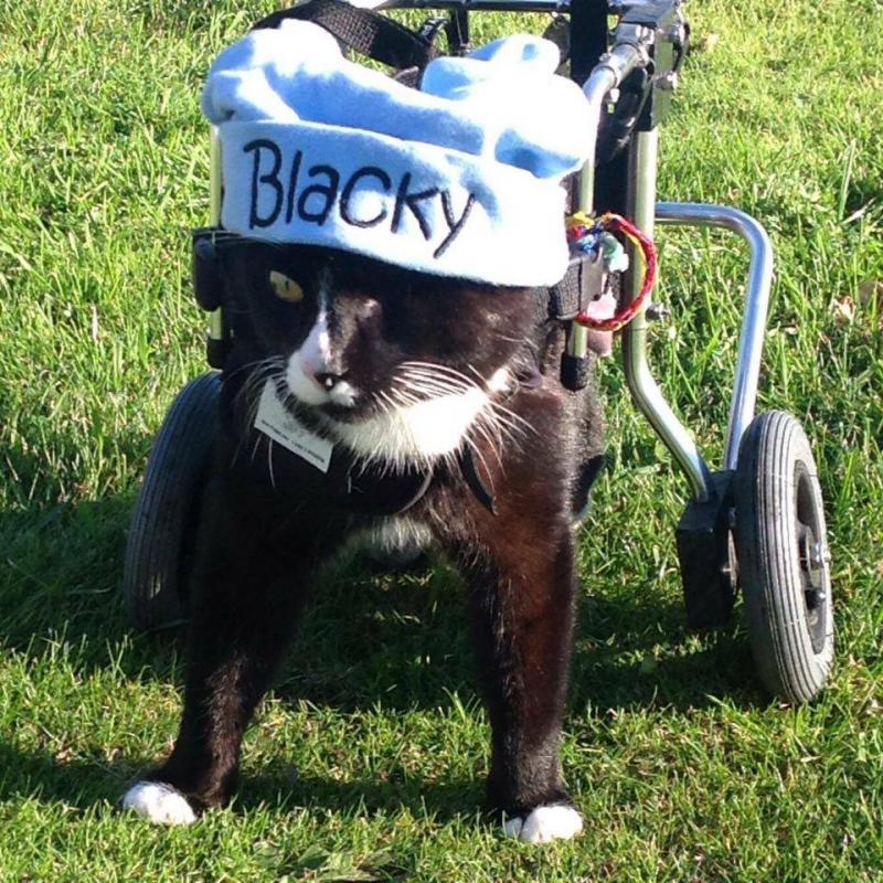 Blacky the Wheelchair Cat