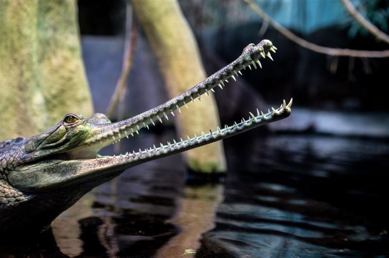 Artis bevrucht kwetsbare krokodil kunstmatig