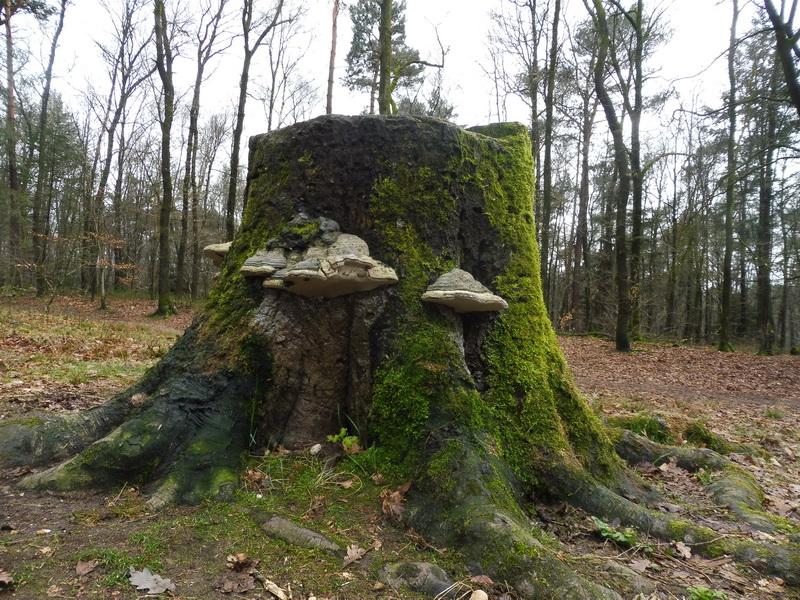 Gisteren een fikse wandeling gemaakt in de omgeving Nijmegen en Berg en dal en daarbij kwam ik deze bezwamde boomstronk tegen (Foto: qltel)