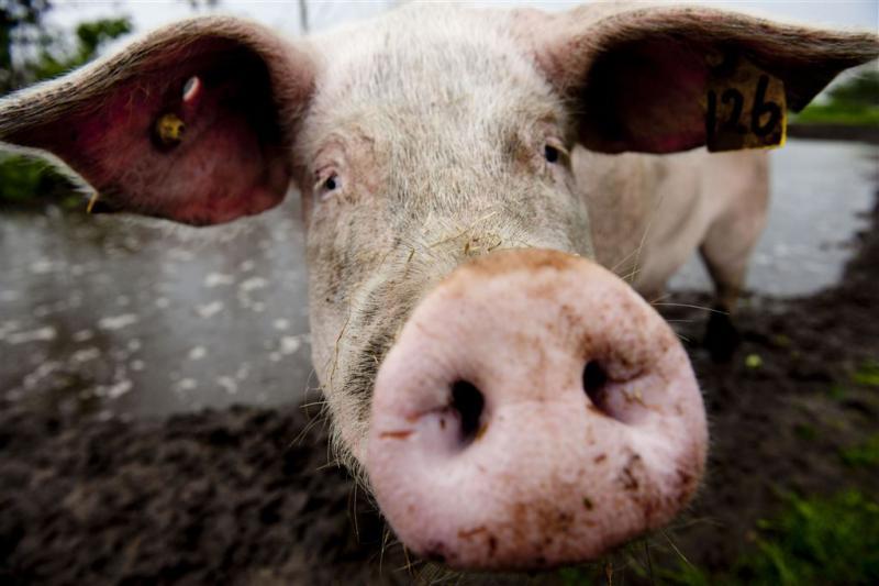 Vlees geslagen varkens te koop in Nederland