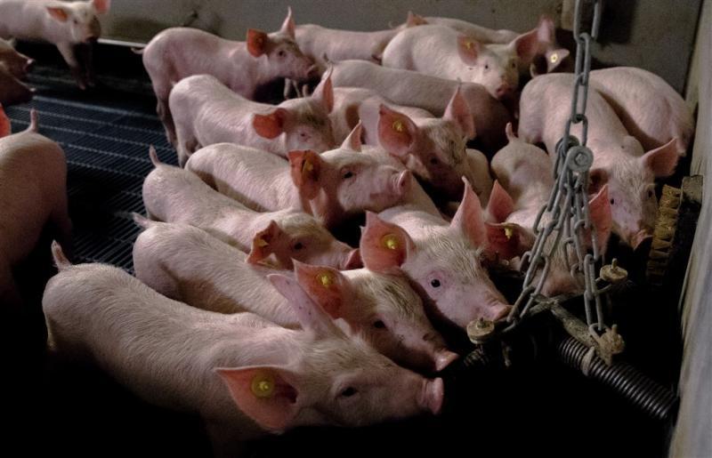NVV en LTO vragen aandacht voor varkenshouder