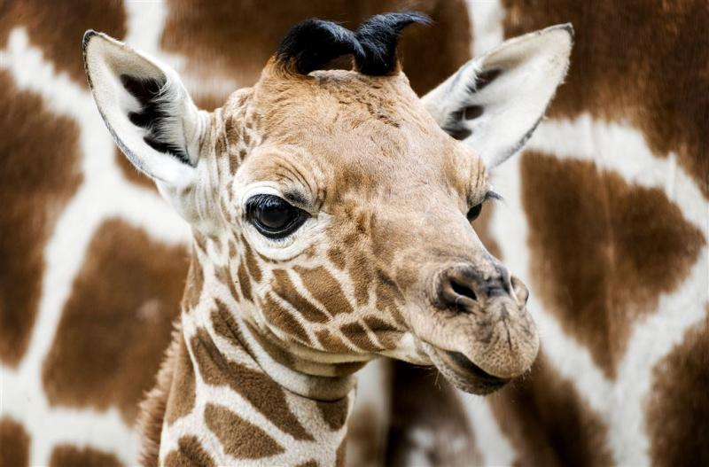 Girafje in Artis overleden