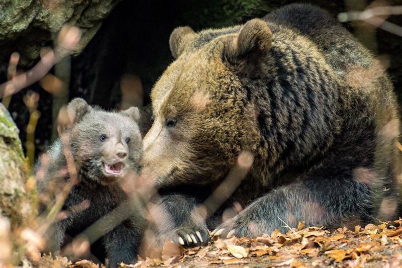 Beren zitten dag in boom in Slowaakse stad