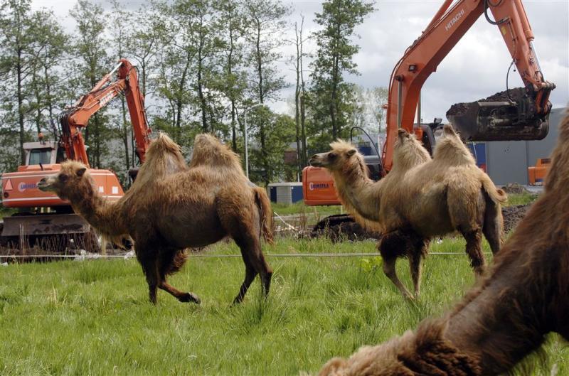 Ontsnapte kamelen op Belgische ringweg