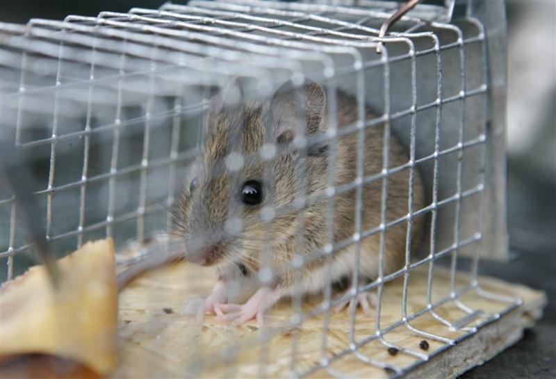 Mensen krijgen muizenparasiet tegen malaria