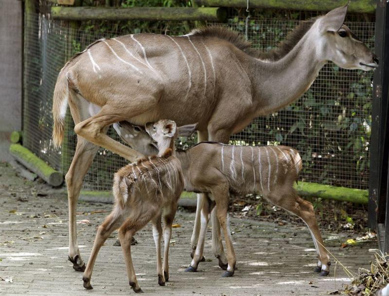 Antilope valt giraf aan in Blijdorp