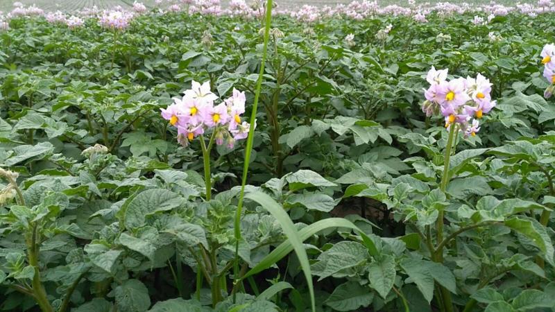 De aardappels in bloei (Foto: Rewimo)