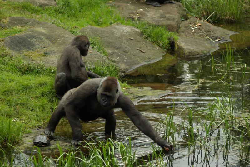 Orang-oetans in de Apenheul (Foto: Disbatch)