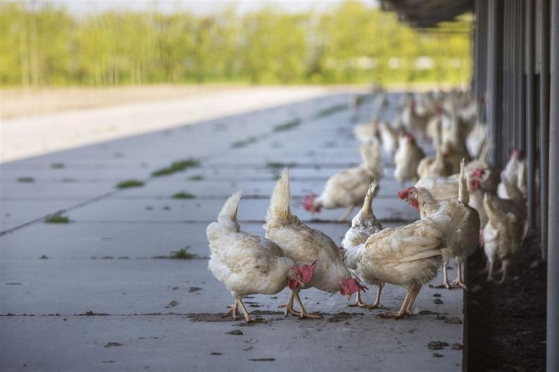 Dierenorganisaties niet blij met kippenopvang