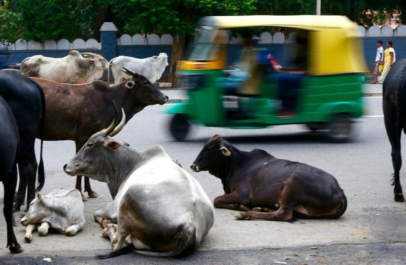 Verbod koehandel India van tafel