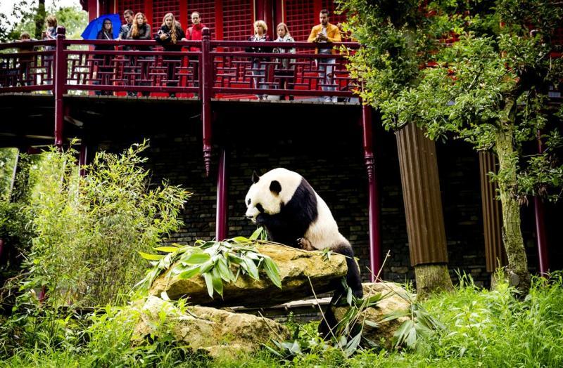 Ouwehands kan bezoek voor panda's goed aan