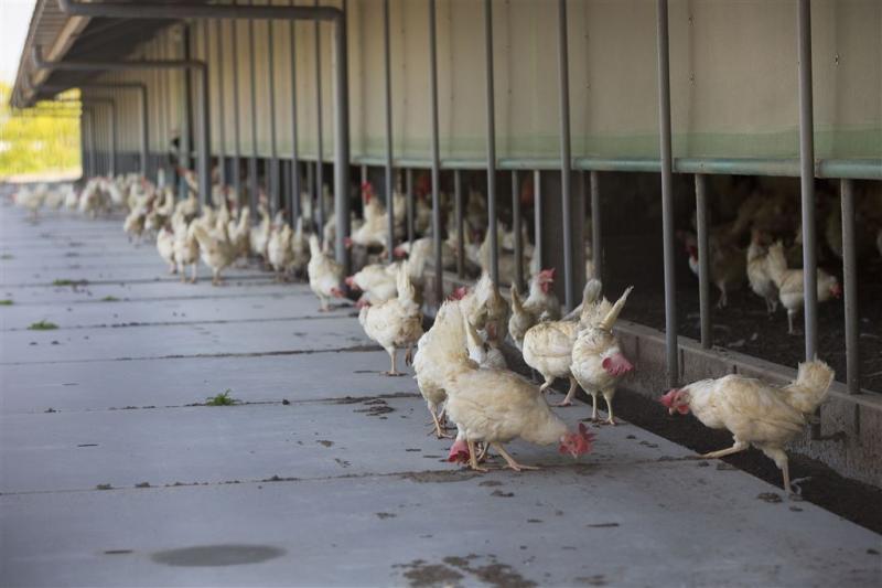 Dierenorganisaties verliezen zaak over kippen
