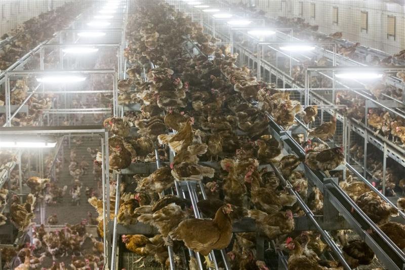 Mogelijk miljoenen besmette kippen geruimd