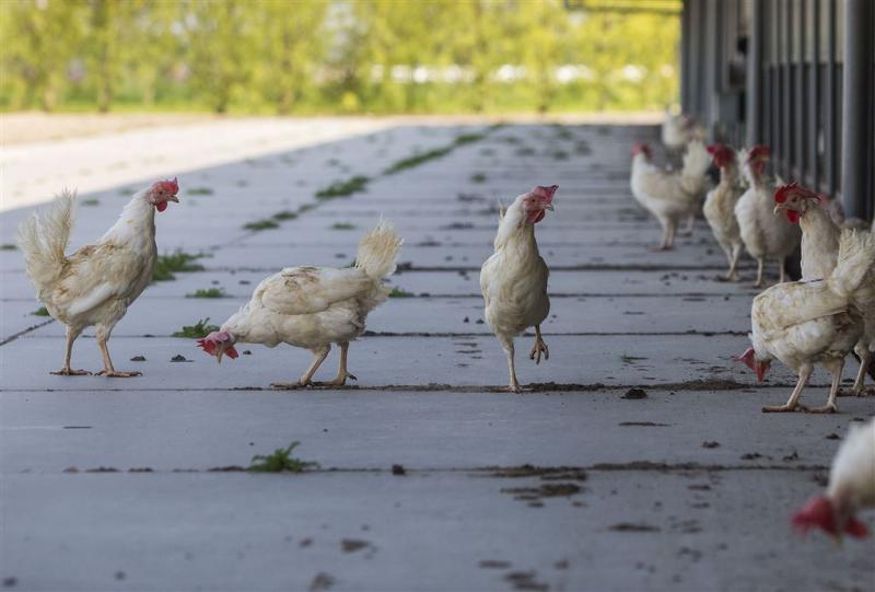 Banken en overheid helpen kippenboeren