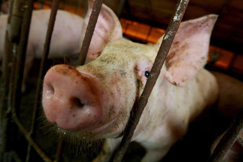 Duitse waarschuwingen tegen varkenspest