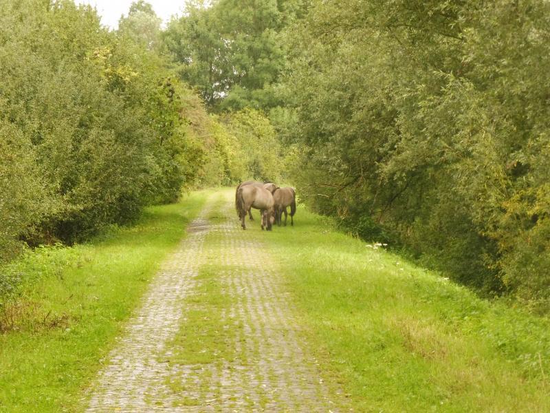Vrijdag een rondje Ooijpolder gelopen (bij Nijmegen). Onderweg een stel wilde paarden tegengekomen.  (Foto: qltel)