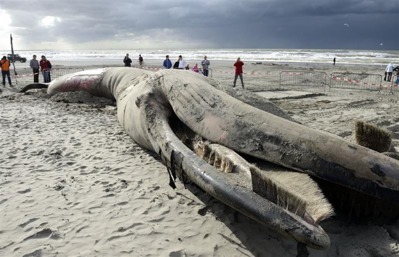 Karkas van dode vinvis aangespoeld op Texel