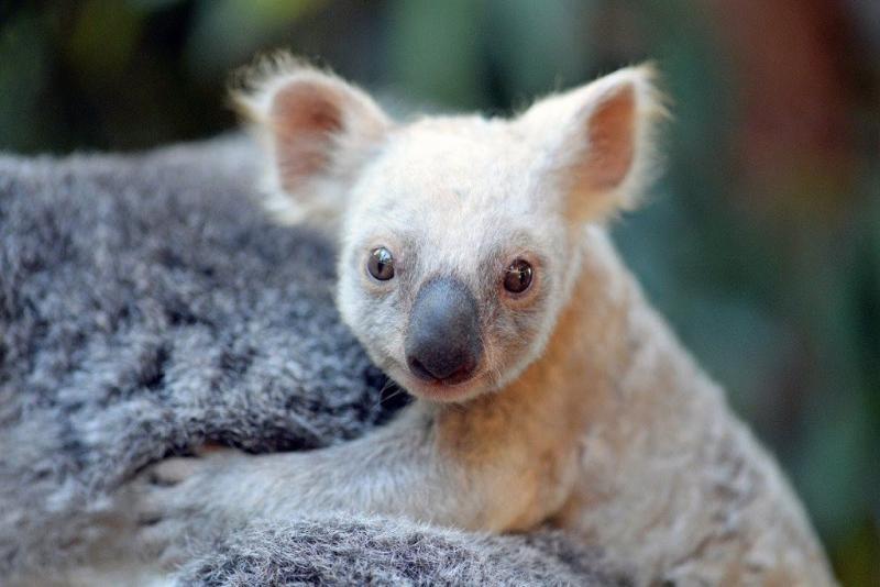 Koala hangt kilometers aan wielas van auto